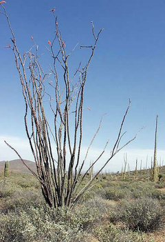 Ocotillo, a desert plant native to the Southwest