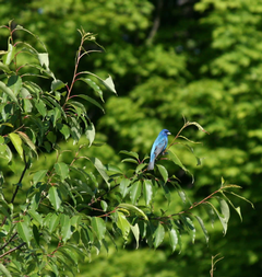 An Indigo Bunting spotted in Calvin's Ecosytem Preserve