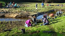 More than a dozen people are planting trees/plants along a restored creek.
