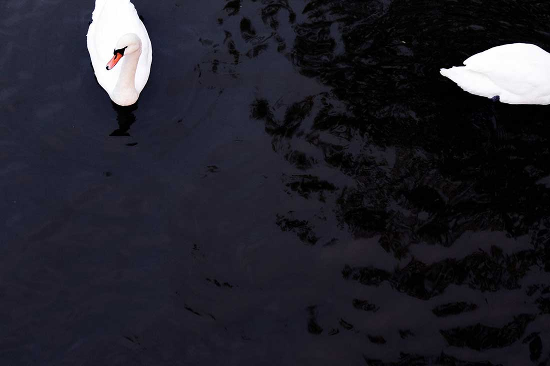 Cygnus - two white swans in a pond